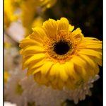 Photograph of Sunflowers by wedding and portrait photographer John Charlton