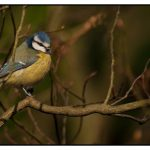 Photograph of a Great Tit by John Charlton Photography